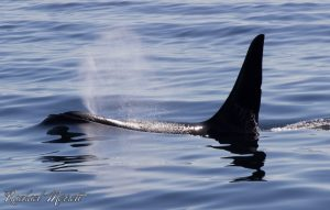 New actions announced in Canada to protect Southern Resident orcas