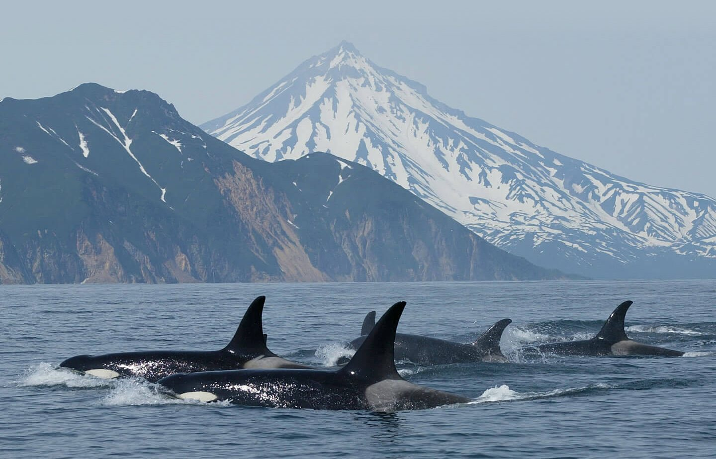 Group of orcas