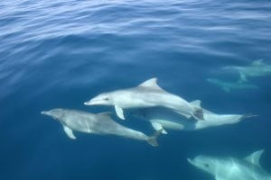 Port River dolphins