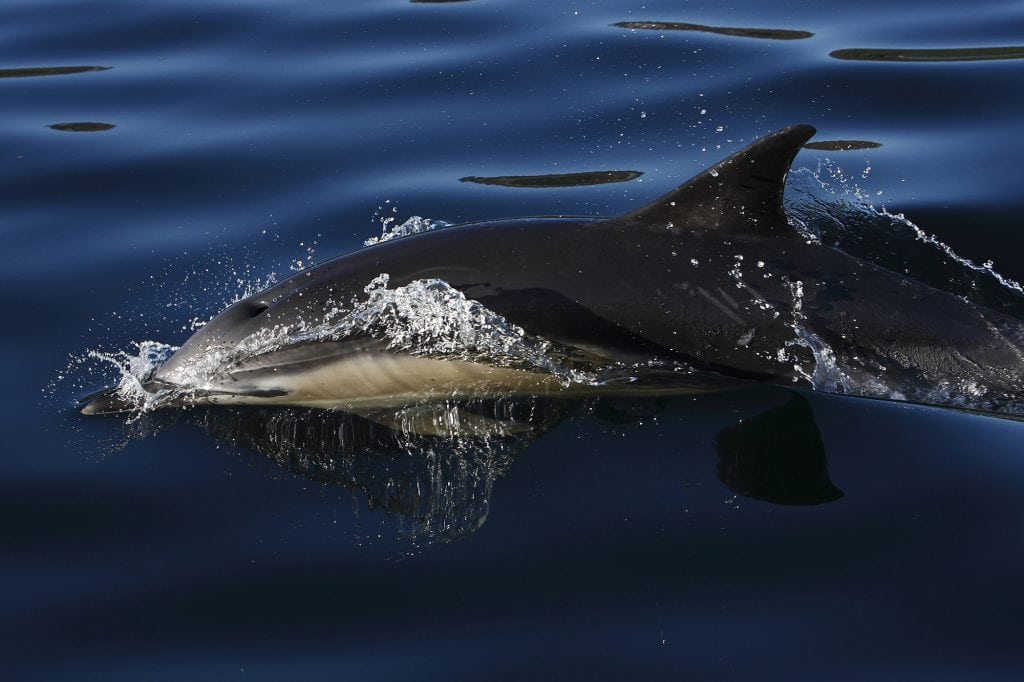 Record numbers of dolphins dead on French beaches