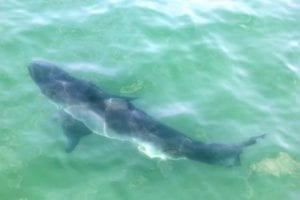 Can dolphins fight off sharks?
