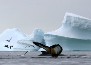 How to protect the whales and other marine mammals of the Antarctic's Southern Ocean