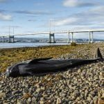 Stranded long-finned pilot whale in the Moray Firth